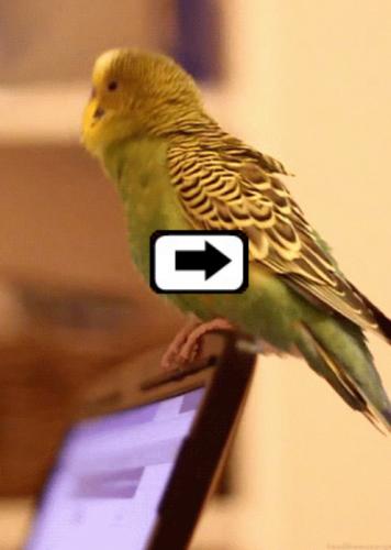 Dancing Parakeet